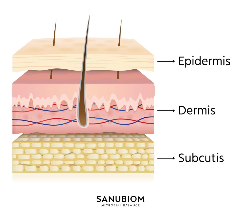 Der Aufbau der Haut in 3 Schichten  -  Epidermis, Dermis, Subcutis
